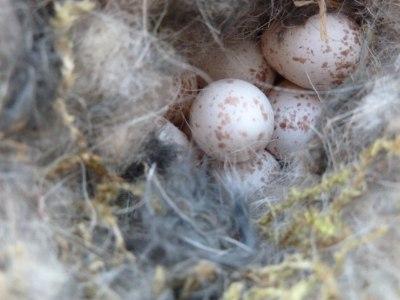 Kohlmeisennest mit Eiern