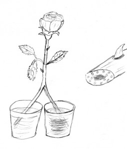 Kapillarwirkung bei Pflanzen